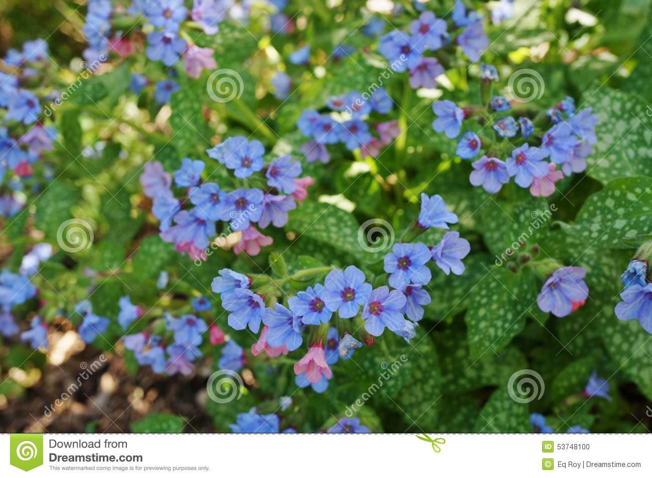 Pulmonaria (lungwort) Purple Flowers Stock Photo.