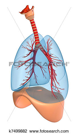 Clip Art of Lungs.