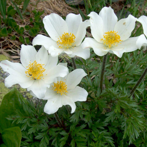 PULSATILLA ALPINA SEEDS (Alpine Pasque Flower, Alpine Anemone).