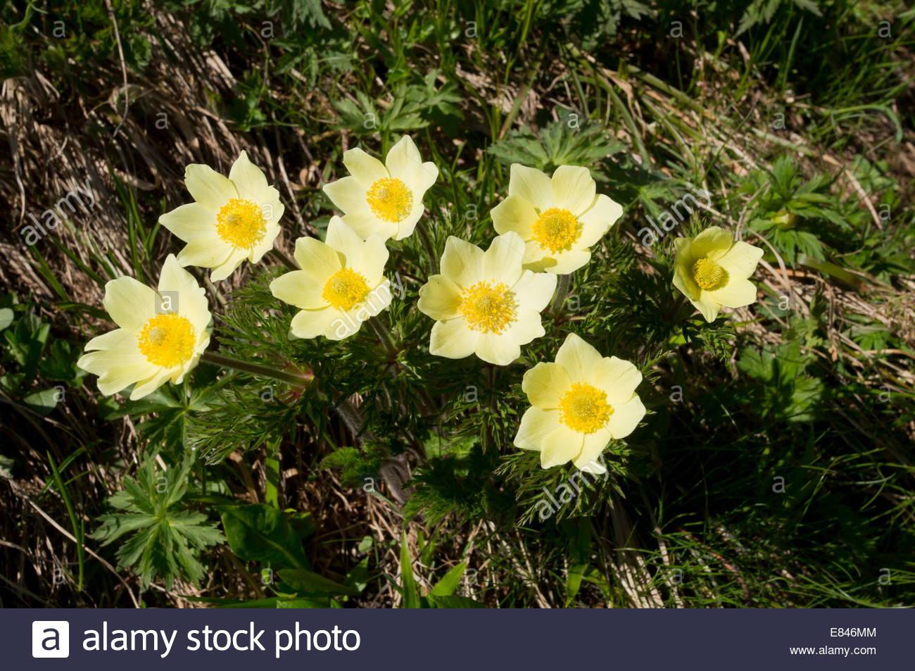 Alpine Pasque Flower, Pulsatilla Alpina Ssp. Apiifolia In Its.