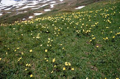Pulsatilla alpina subsp. apiifolia.