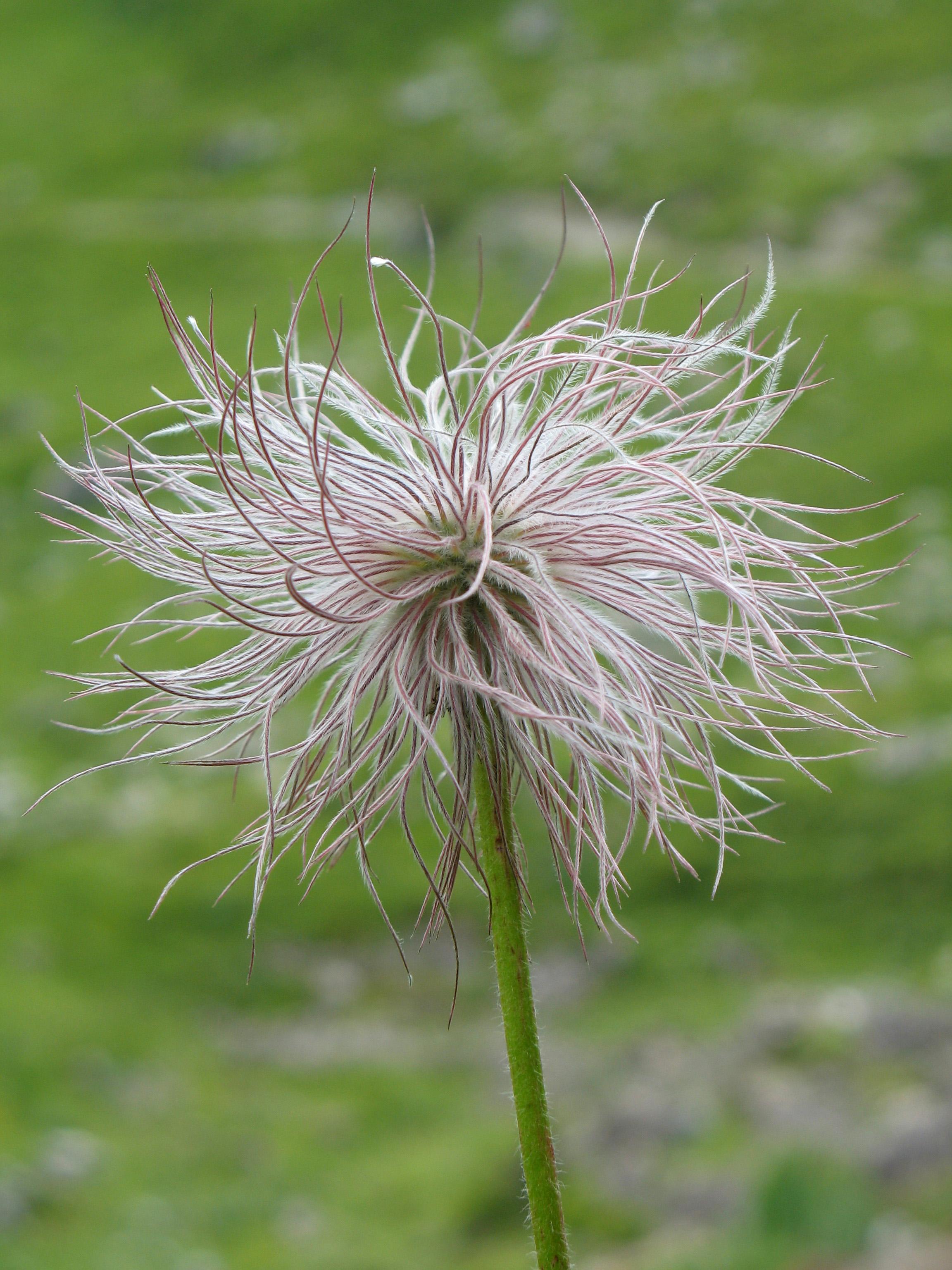 File:Pulsatilla alpina fruit.JPG.