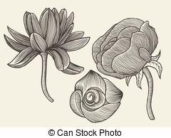 EPS Vector of anemone pulsatilla vulgaris.