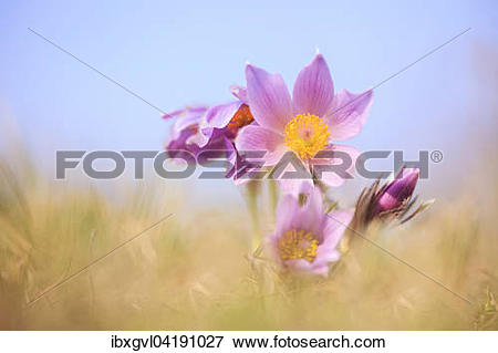 Picture of Greater Pasque Flower (Pulsatilla grandis.