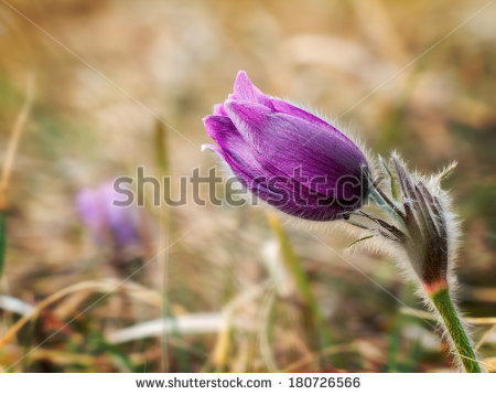 Small Pasque Flower Stock Photos, Images, & Pictures.