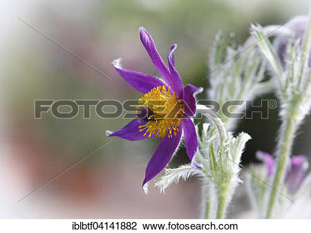Stock Photo of Pasque Flower (Pulsatilla vulgaris) with vignette.