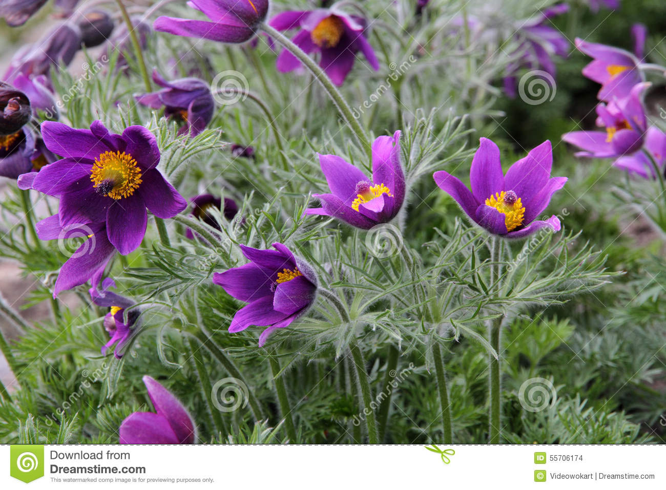 Close Up Of Purple Pasque Flower (Pulsatilla Vulgaris) Stock Photo.