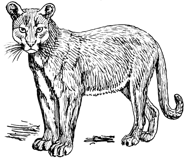 Free Puma Clipart, 1 page of Public Domain Clip Art.