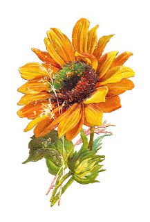 Antique Images: Free Flower Graphic: Sunflower Clip Art of 2.
