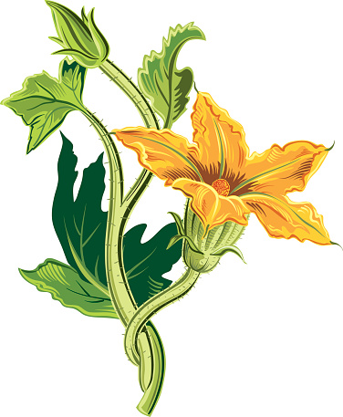 Squash Blossom Clip Art, Vector Images & Illustrations.