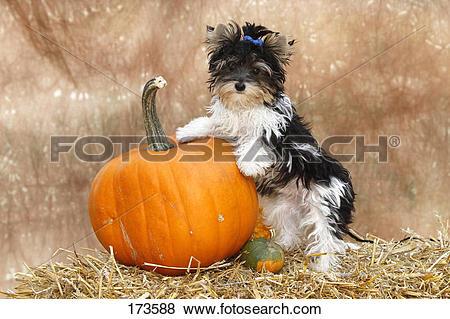 Pictures of Biewer Terrier, Biewer Yorkshire a la Pom Pon. Puppy.