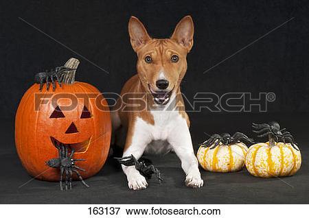 Picture of Basenji dog.