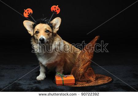 Cute Pembroke Welsh Corgi Puppy Wearing A Halloween Pumpkin.