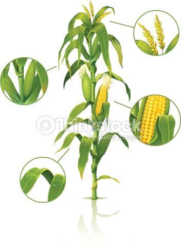 17 Best ideas about Corn Stalk Decor on Pinterest.