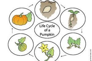 Pumpkin life cycle clipart 1 » Clipart Portal.