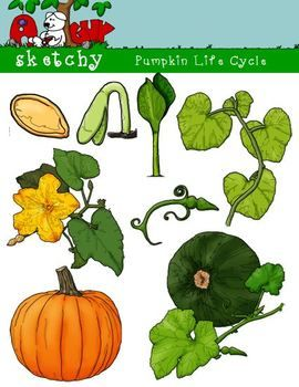 Pumpkin Life Cycle Clipart, Graphic.