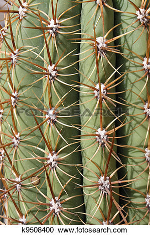 Stock Photography of thorns and spines very pungent a fat cactus.