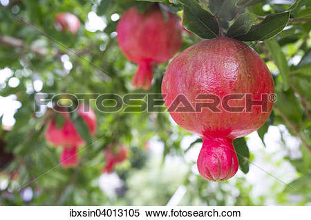 "Stock Image of ""Pomegranate (Punica granatum) fruits growing on a."