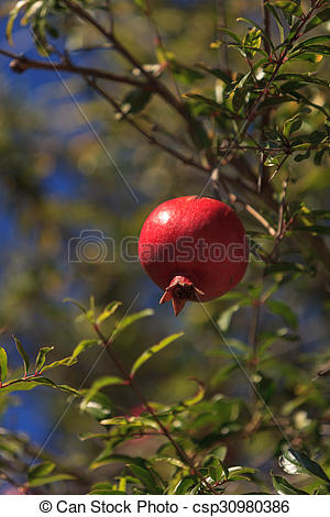 Pictures of Pomegranate tree, Punica granatum, bears fruit in the.