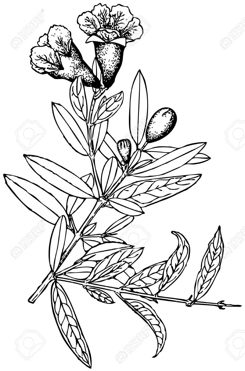Plant Punica Granatum Royalty Free Cliparts, Vectors, And Stock.