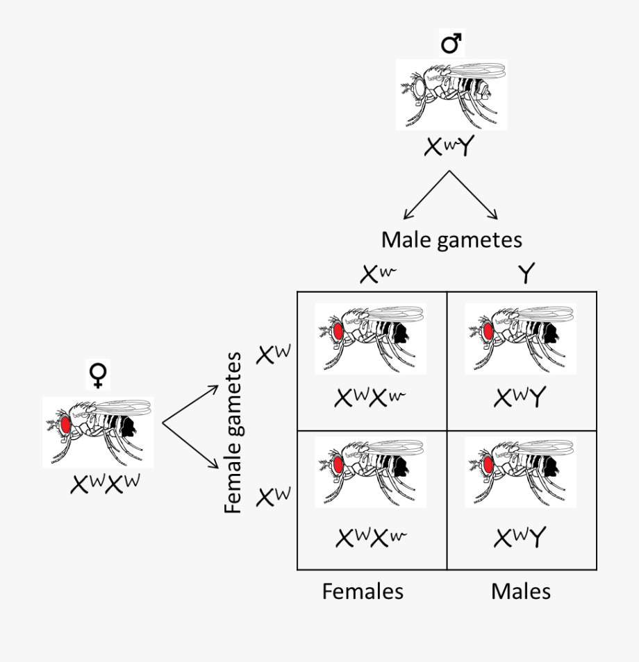 Drosophila Eye Color Punnett Square , Transparent Cartoon.