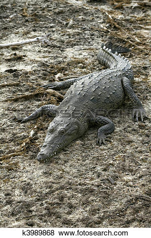 Pictures of Punta Sur Crocodile Basking in Sun k3989868.