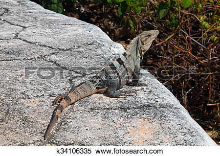 Stock Image of Lesser Antillean Iguana on Isla Mujeres Punta Sur.