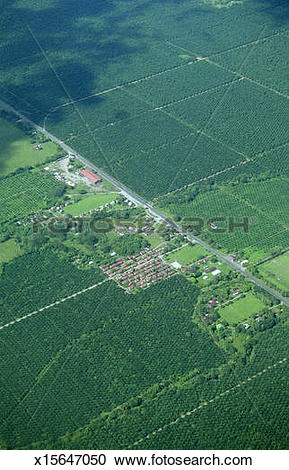 Stock Photography of Costa Rica, Puntarenas, palm oil plantations.