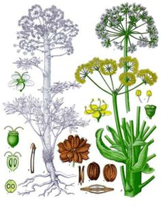 Sea kale a perineal vegetable plant that flowers are a substitute.