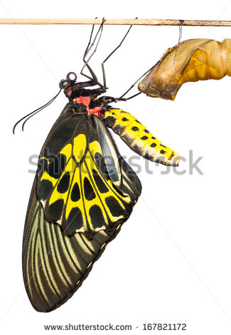 Butterfly Emerging From Cocoon Stock Photos, Royalty.