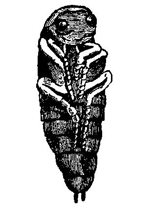 File:EB 1911 Water Beetles pupa.png.