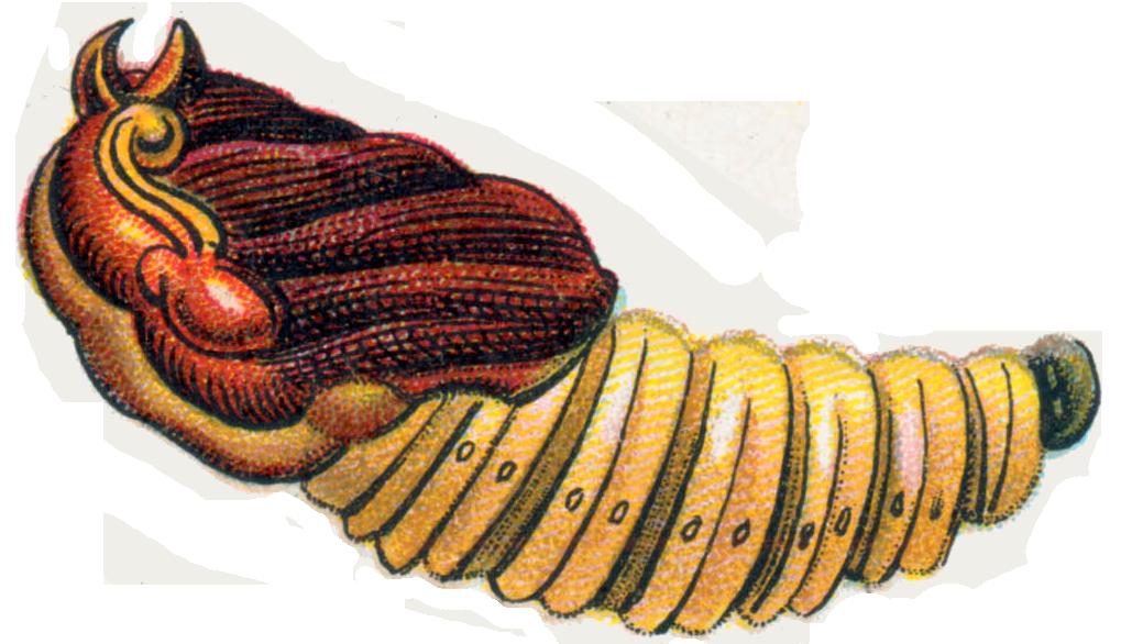 File:Cossus cossus pupa.png.