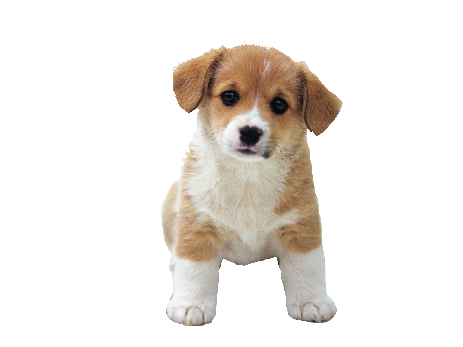 Puppy PNG HD Transparent Puppy HD.PNG Images..