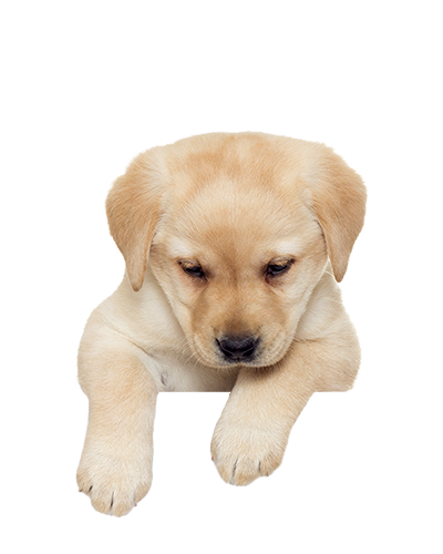 Puppies PNG Picture.