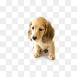 Sad Golden Retriever Puppy, Sad Clipart, #51272.