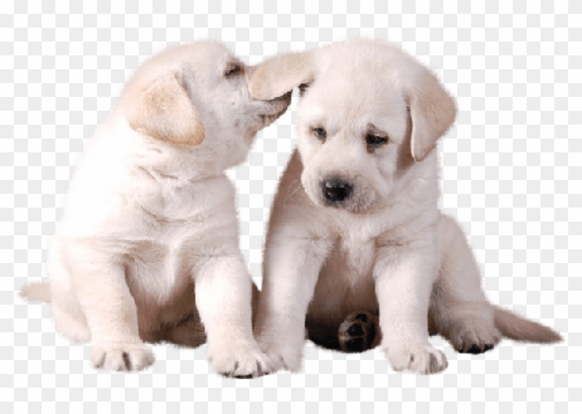 Free Png Download Two Cute White Puppies Png Images.