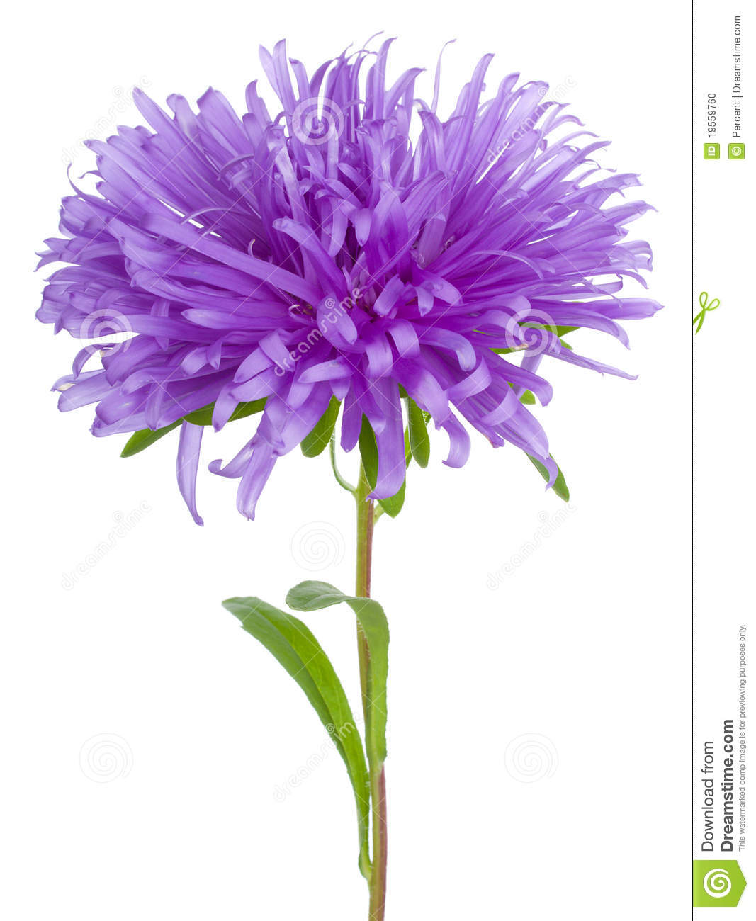 Purple Aster Stock Photo.