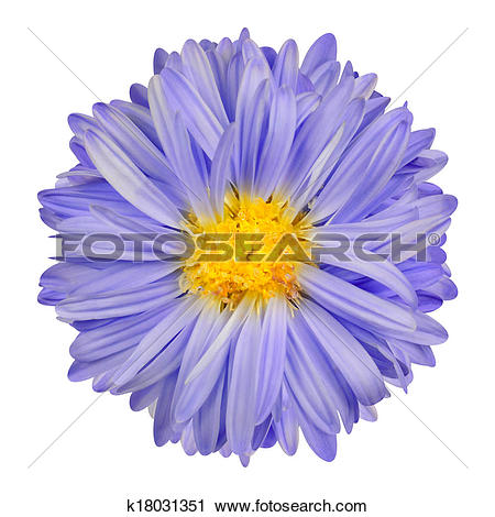 Stock Photography of Purple Aster Flower with Yellow Center.