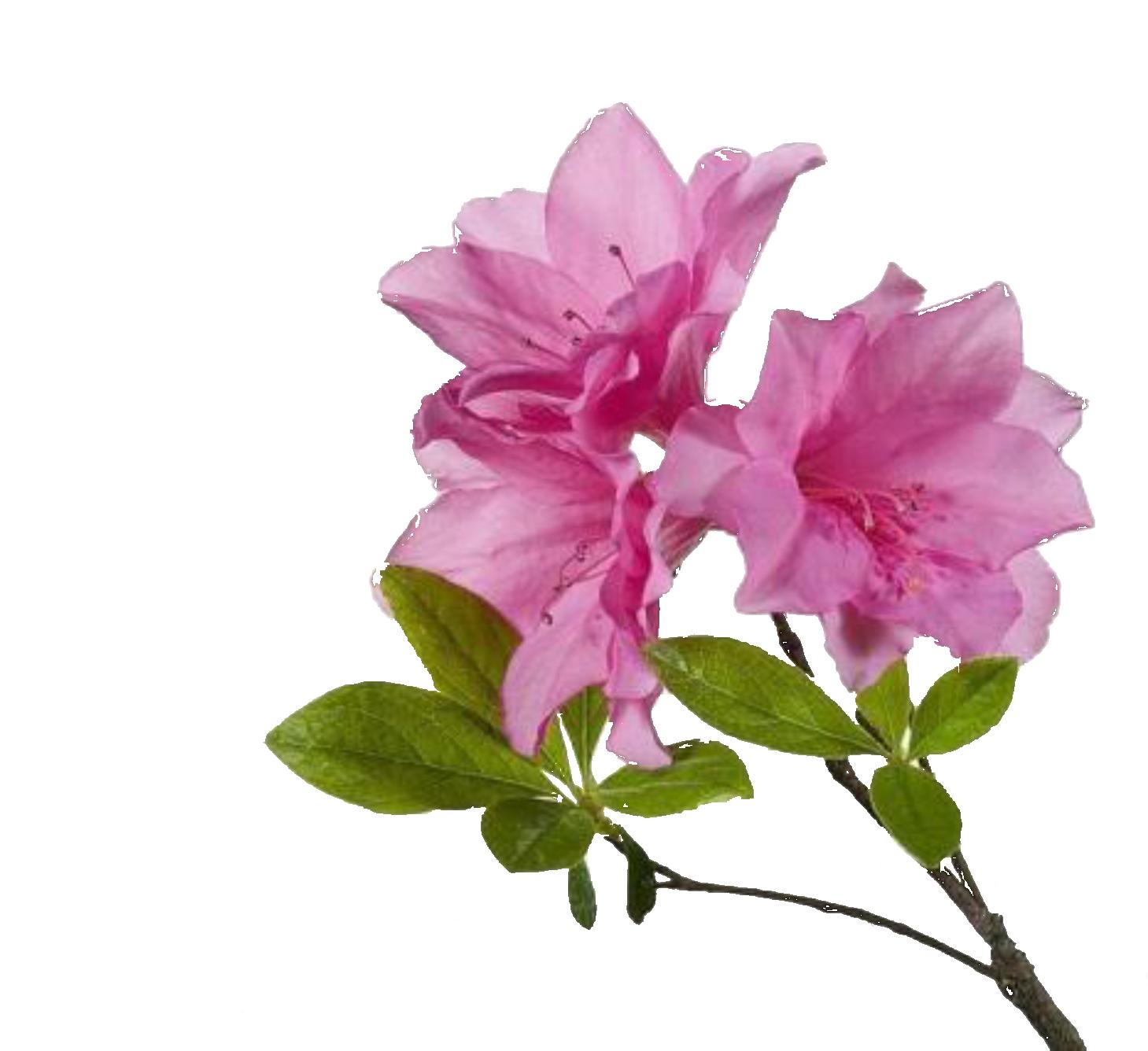 Cartoon Azalea Flower.
