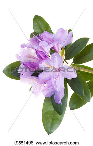 Stock Images of Pink rhododendron, azalea k9551496.