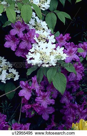 Stock Image of viburnum plicatum, purple, white, azalea, spring.