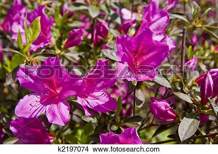 Stock Photo of Purple Azaleas k2197074.