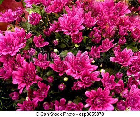Pictures of Beautiful azalea bush.