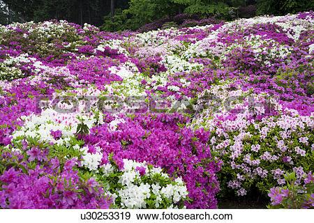 Stock Photograph of Garden of purple and white azalea bushes.