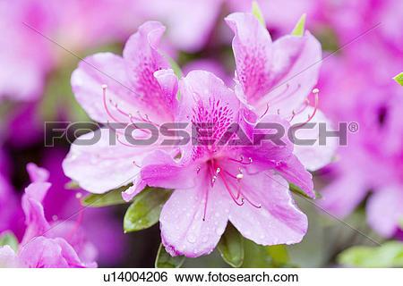 Stock Images of Purple Azalea u14004206.