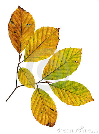 Leaves Of Copper Beech Stock Images.