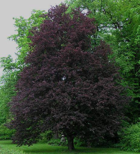1000+ ideas about Beech Tree on Pinterest.