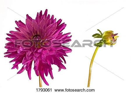 Stock Photography of Purple Dahlia and bud 1793061.