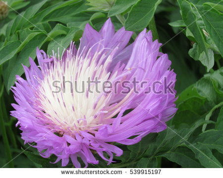 Purple Chrysanthemums Stock Photos, Royalty.