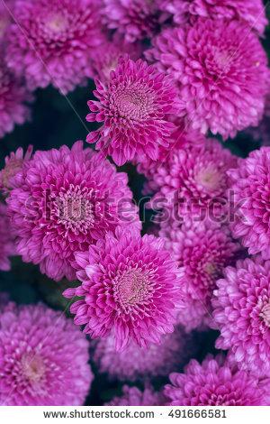 Purple Chrysanthemums Stock Photos, Royalty.